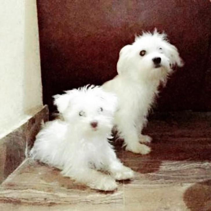 samoyed puppies for sale ny 14 weeks old in Lackawanna ...