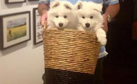 samoyed puppies for sale ny 14 weeks old