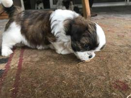 shorkie puppies for sale in ohio