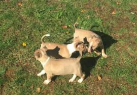 bull terrier pup fawn and white