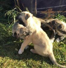purebred irish wolfhound puppies for sale