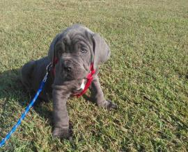 neapolitan mastiff puppies for sale in pa