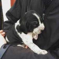 foxhound puppies for sale