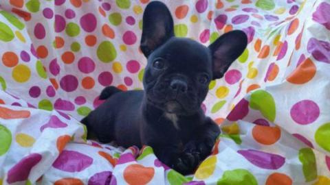 8 weeks old french bulldog puppies for sale in texas