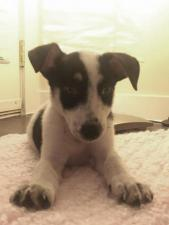 jack russell terrier puppies for sale in ohio
