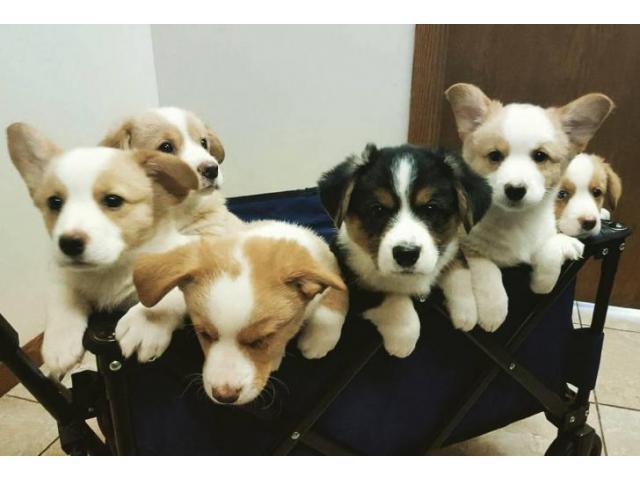cardigan welsh corgi puppies in Dunkirk, New York ...