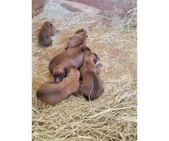 Boxmas puppies for sale