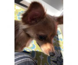 Very sweet Chihuahua long hair puppies for sale