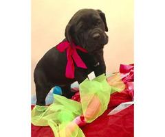 Italian Cane Corso puppy for sale