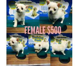 6 beautiful Chi-Poo (Chihuahua-Poodle Mix) puppies avaliable