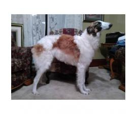 Wonderful Borzoi puppies for sale