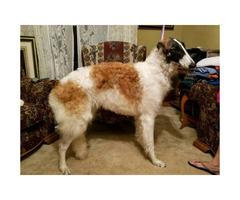 Wonderful Borzoi puppies for sale