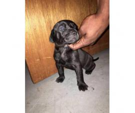 lab pitbull puppies for sale