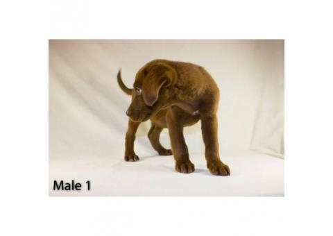 3 playful Chocolate Lab Puppies available