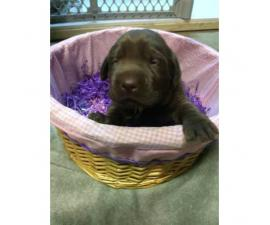 3 Chocolate lab puppies for sale