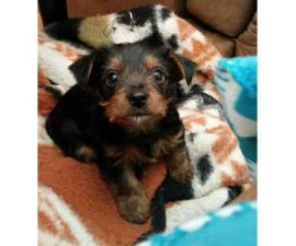 Yorkie Puppies  for Sale - Males and Females