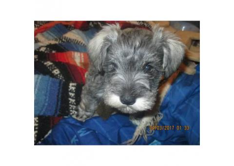 4 Mini Schnauzer Puppies for sale