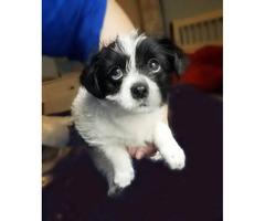 2 beautiful chorkies puppies left