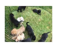 Shepherd mix puppies for sale