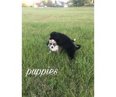 2 months old maltese shih tzu puppies