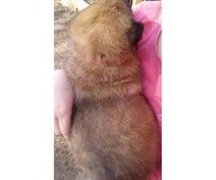 Beautiful Purebred Belgain Malinios puppy to rehome