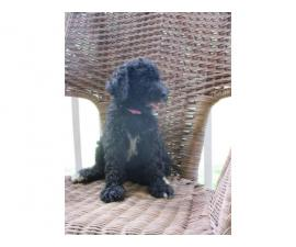 One male standard poodle puppy to be re-homed as a pet