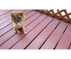 Male Pomeranian puppy looking for his forever home