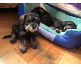 1 girl and 2 boys Miniature Schnauzer puppies