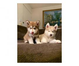 Pure bred Husky Puppies for sale