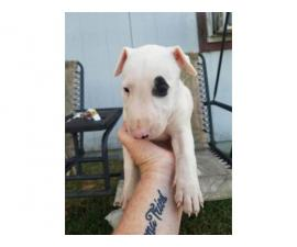 Rehoming eight weeks old bull terrier puppies