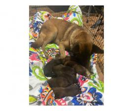 5 males and 1 female CKC Belgian Malinois puppies