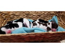 10 English Springer Spaniel puppies for sale