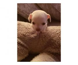 Sweet 2 months old chihuahua pups