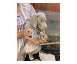 8 weeks old Weimaraner puppies ready to go now