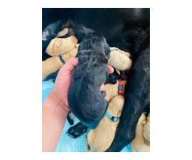 1 black and 1 light tan color Labradoodles for sale