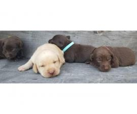 Chocolates and yellows Lab puppies available
