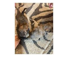 2 Morkie puppies left