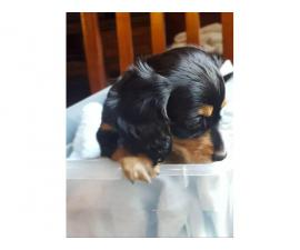 8 weeks old male Dachshund puppies for sale