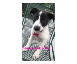 4 females border heeler puppies looking for new homes