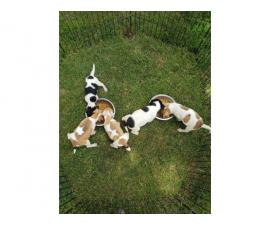 5 Jack Russell Terrier puppies ready to go for good homes only