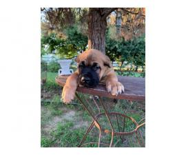 Stunning ICCF fully registered Cane Corso puppies