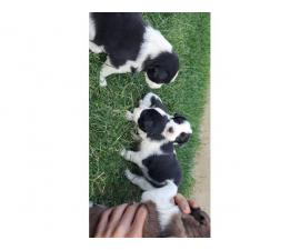 4 Border Aussie puppies waiting for a new family