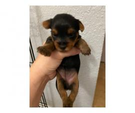 2 boys Yorkie puppies left
