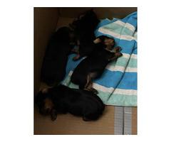 2 boys Yorkie puppies left