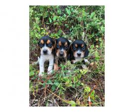 2 males 1 female Beagle puppies up for sale