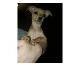 12 weeks old female Chihuahua puppies for adoption