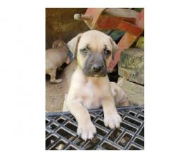 5 males and 4 females NKC reg black mouth cur puppies