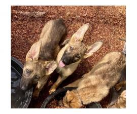 Two males and four females left AKC German Shepherd puppies