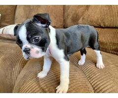 2  Boston terrier puppies for adoption