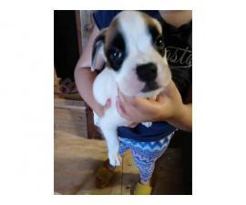 Two 7 weeks old boxer puppies needing a loving homes
